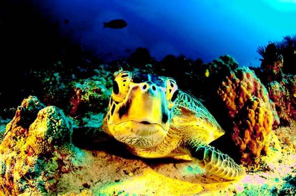 Giant Green Turtle in the Coral Sea on Queensland. (Photo: Supplied)