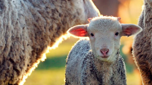 A tame lamb photographed by Animal Australia.