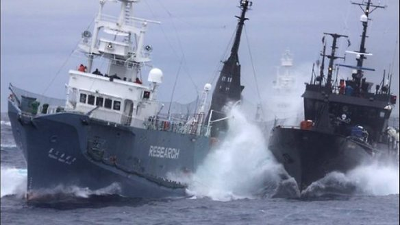 Sea Shepherd fleet clash with Japanese vessels. (Photo: Adelaide Now)