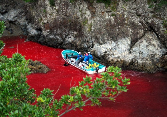 The notorious whale hunt in Taiji turning water into blood red. (Pic: Supplied)